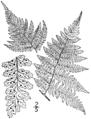 BB-0047 Dryopteris dilatata.png