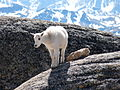 Baby mountain goat on rock.JPG