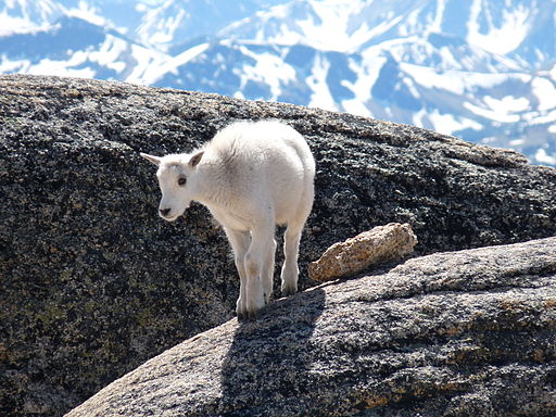A fluffy white baby mountain goat standing on grey rocks. In the background are towering snow-covered peaks.