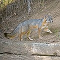 Backyard Fox (49851582572).jpg