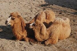 Bactrian Camel Tennoji.jpg