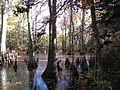 Bald Cypress Swamp at FLSP (5248762659).jpg