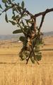 Balkan Sawing cricket Lake Langadas area.tif
