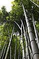 Bamboo in Ninfa Garden.JPG
