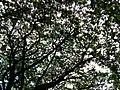 Bangalore Sanjay nagar street trees 6.jpg