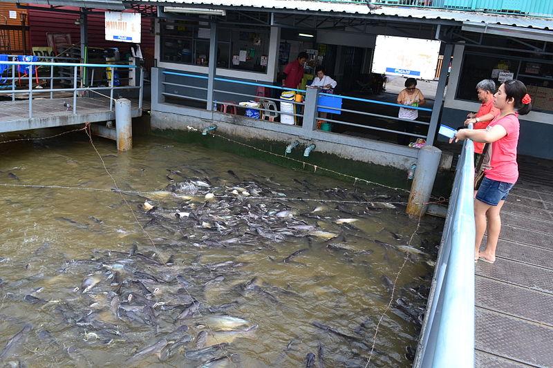 File:Bangkok Thailand Feeding Fish at Boat Stop on Chao Praya.JPG
