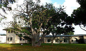 Government of Hawaii - Hawaii State Department of Agriculture building, Honolulu.  Large Baobab tree in foreground.