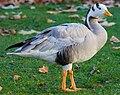 Bar-headed Goose - St James's Park, London - Nov 2006 (cropped).jpg