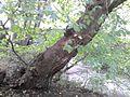 Bark of Ulmus 'Tortuosa'.jpg