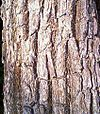 Bark of Xylia xylocarpa.jpg