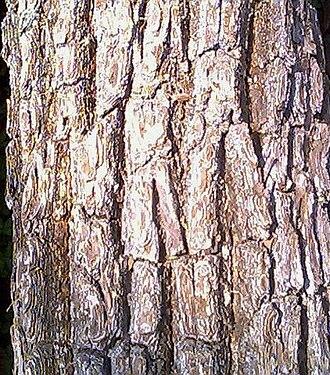 Xylia xylocarpa - Image: Bark of Xylia xylocarpa