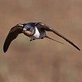 Barn swallow, Hirundo rustica-2 (36902148543).jpg