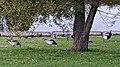 Barnacle Geese (Branta leucopsis) - Oslo, Norway 2020-10-18.jpg
