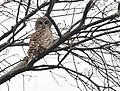 Barred Owl (32192166946).jpg
