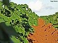 Batata irrigada sob Pivô central em Luziânia GO. - panoramio.jpg