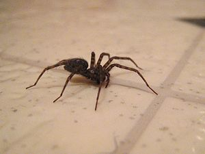 English: Unknown house spider crawling through...