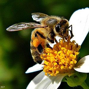 Beatrice the Honey Bee (7836716730).jpg