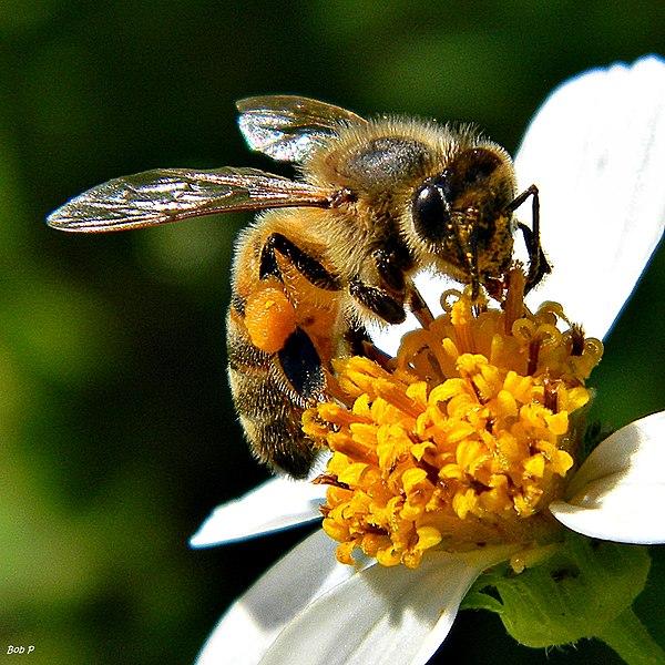 Datei:Beatrice the Honey Bee (7836716730).jpg