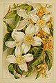 Beautiful flowering trees and shrubs for British and Irish gardens (1903) (20350324732).jpg