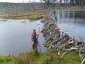 Beaver dam in Tierra del Fuego, Chile.jpg