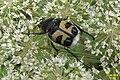 Bee beetle (Heiterwanger See) (15619262607).jpg