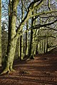 Beech trees on the Clent Hills - geograph.org.uk - 674124.jpg