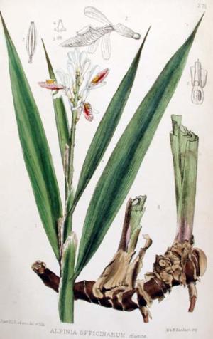 Robert Bentley (botanist) - Lesser galangal shown in a plate from Medicinal Plants (1880)