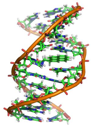 An adduct formed between a DNA strand and an epoxide derived from a benzo[a]pyrene molecule (center); such adducts may interfere with normal DNA replication. Benzopyrene DNA adduct 1JDG.png