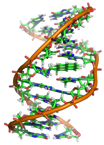 Εικόνα:Benzopyrene DNA adduct 1JDG.png