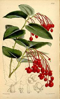 Berberidopsidaceae