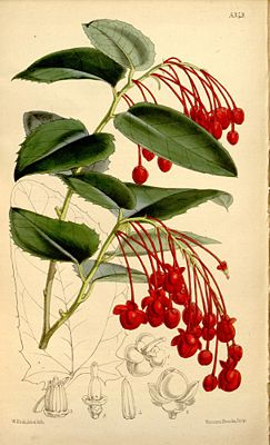 Berberidopsis corallina, Illustration.