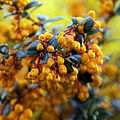 Berberis darwinii - Great Saling Essex England 2.jpg