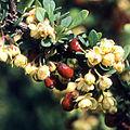 Berberis thunbergii spring aspect.jpg