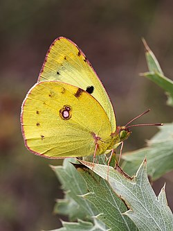 Berger's Clouded Yellow (28516174703).jpg