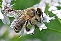 Biene auf Koriander 001.jpg