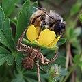 Biene und Spinne 6276.jpg