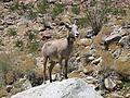 Big Horn Sheep - Flickr - GregTheBusker (1).jpg