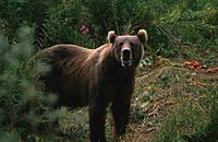 Big brown bear ursus arctos.jpg