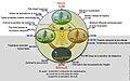 Biological clock humanNycthéméralFrenchVersion.jpg