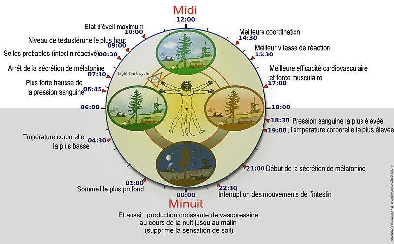 Les rythmes biologiques (source : Wikipedia)