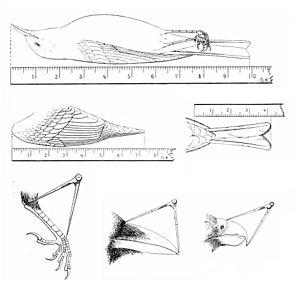 Morphometrics - Standard measurements of birds