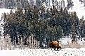 Bison with Specimen Ridge Backdrop (f134ba2e-b91e-40ca-a774-b80391dd2da0).jpg
