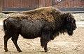 Bisonte at Berlin zoo-2 (2483439808).jpg