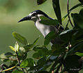 Black-crowned Night Heron I IMG 8723.jpg