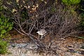 Black-crowned night heron (36094075580).jpg