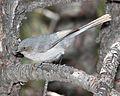 Black-eared Bushtit, Patagonia Mountains, Santa Cruz County, Arizona 1.jpg