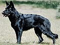 Black-german-shepherd.jpg
