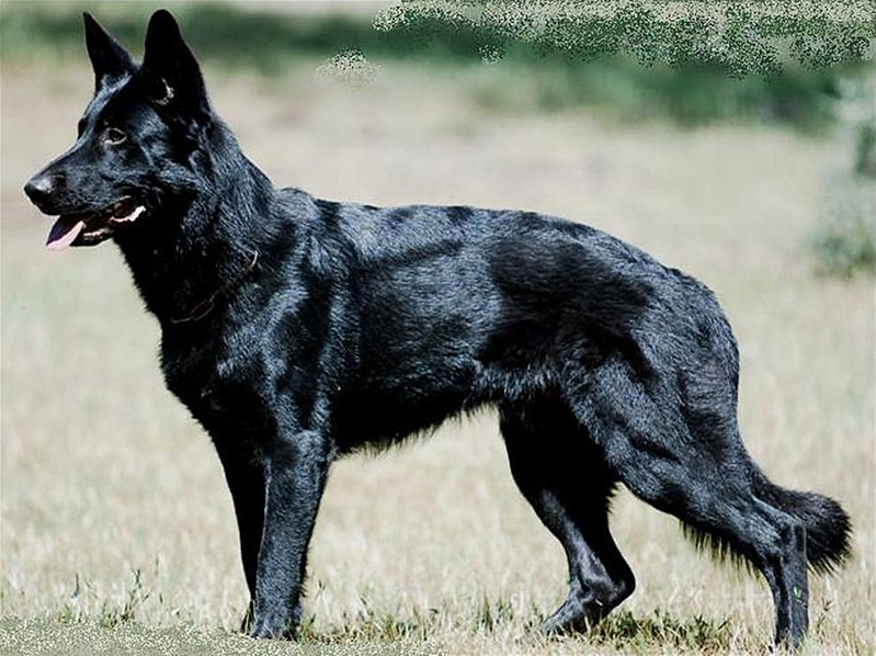 Black German Shepherd Hunt Wolf Dog