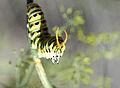 Black-swallowtail-osmeterium.JPG