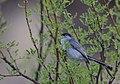 Black-tailed Gnatcatcher (33636530030).jpg
